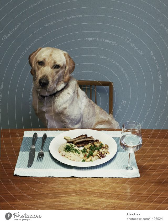 Young, blond Labrador sitting at a dining table in front of a plate of Nuremberg sausages, fried potatoes and sauerkraut - with water in a glass and cutlery