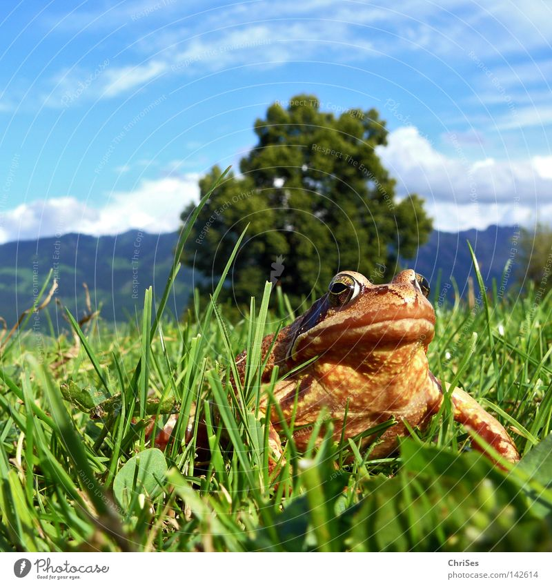 Grass frog : The true king looks into the land_02 Amphibian Frogs Rana Hop Jump Looking Discover Brown Green Blue Sky Meadow Alps Austrian Alps German Alps