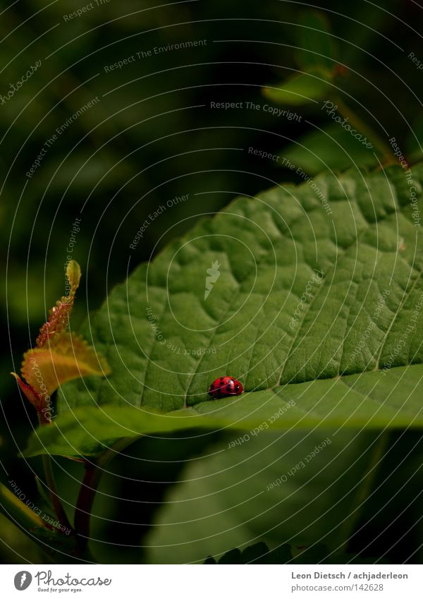 Marian worshipper Leaf Green Ladybird Red Sweet Small Cute Plant Field Wayside Crawl Insect Animal Macro (Extreme close-up) Close-up Mary Beetle scarlet fever
