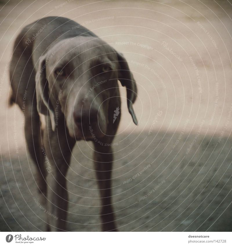 slow down. Animal Dog Cute Boredom Grief Fatigue Weimaraner Hound Analog Mammal Sadness Gray Looking Vignetting Colour photo Subdued colour Exterior shot
