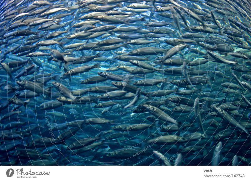 Water Ocean Blue Animal Lake Fish Dive Fishing (Angle) Flock Seafood Shoal of fish