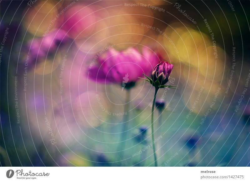 BOKEH colour frenzy Elegant Style Design Nature Plant Summer Beautiful weather Flower Blossom Bud Part of the plant petals Flower meadow summer meadow Garden
