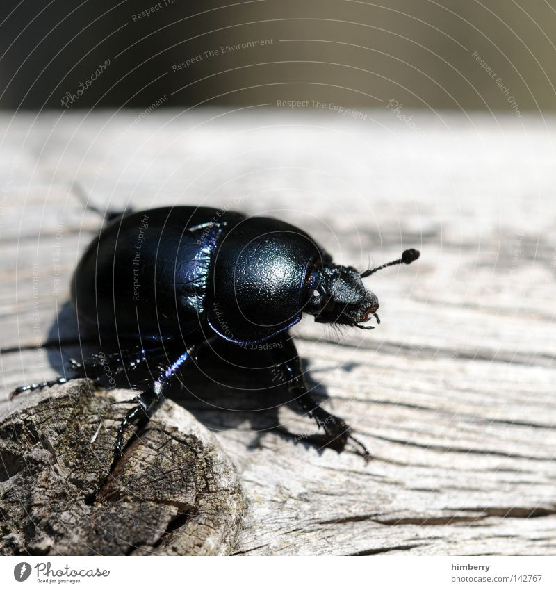 Black Peter Beetle Insect Bow Animal Crawl Small Nature Freedom Zoo Going Depart Summer Forest road Extraterrestrial being Macro (Extreme close-up) Guard Feeler