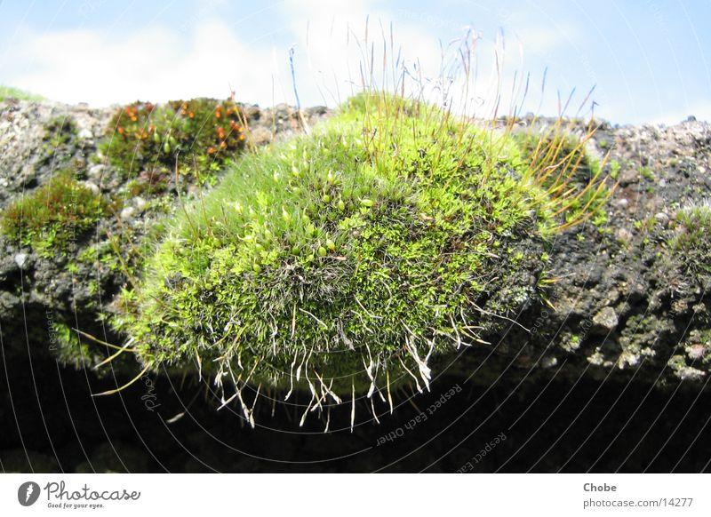 Green Stone Moss