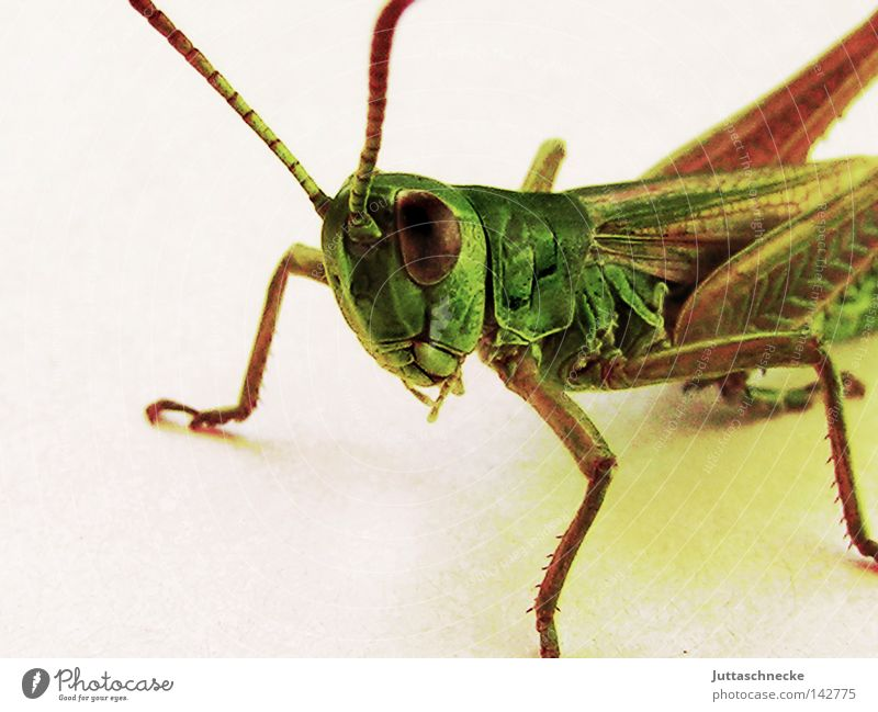 Mr. Flip Locust Dryland grasshopper Great green bushcricket Salto Insect Animal Jump Sit Crouch Looking Curiosity Cute Macro (Extreme close-up) Green Nature