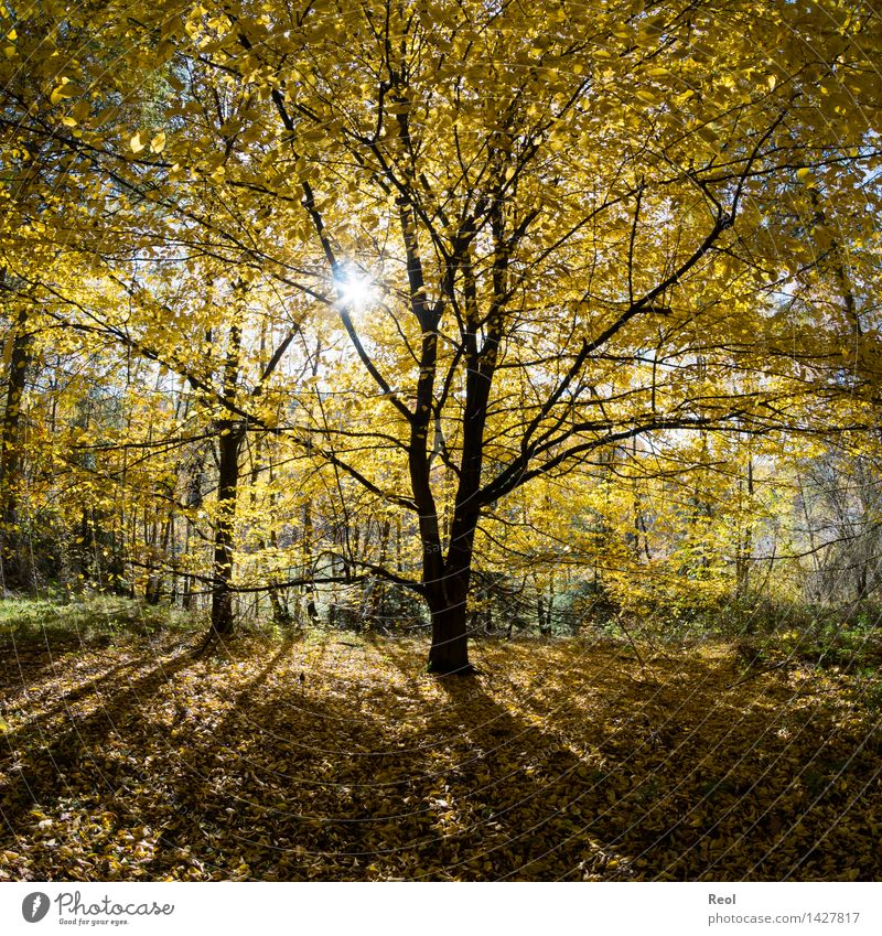 yellow leaves Nature Landscape Elements Sun Sunlight Autumn Beautiful weather Plant Tree Leaf Tree trunk Silhouette Treetop Leaf canopy Forest Multicoloured