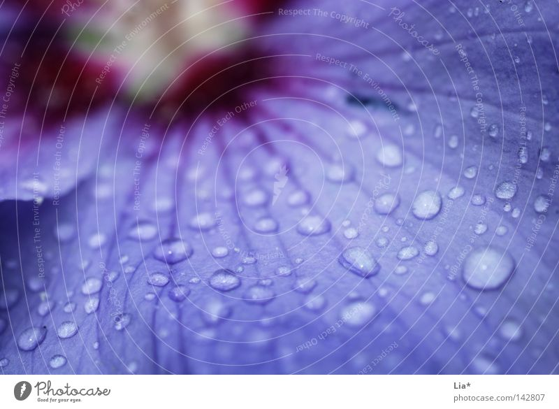 purple rain Flower Rain Violet Drops of water Blossom Blossoming Nature Wet Macro (Extreme close-up) Close-up Pink droplet Shallow depth of field Deserted