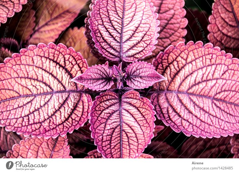 central perspective Plant Leaf Exotic Ornamental plant Stinging nettle colored nettle Foliage plant Crucifix Growth Violet Pink Red Disciplined Contentment