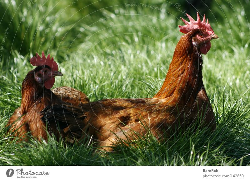 """I wish I was a chicken..."" Barn fowl Meadow Farm Country life Bird Grass"