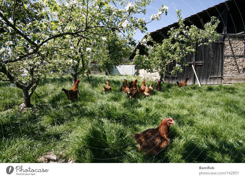 Spring on the farm Blossom Barn fowl Farm Tree Meadow Peace