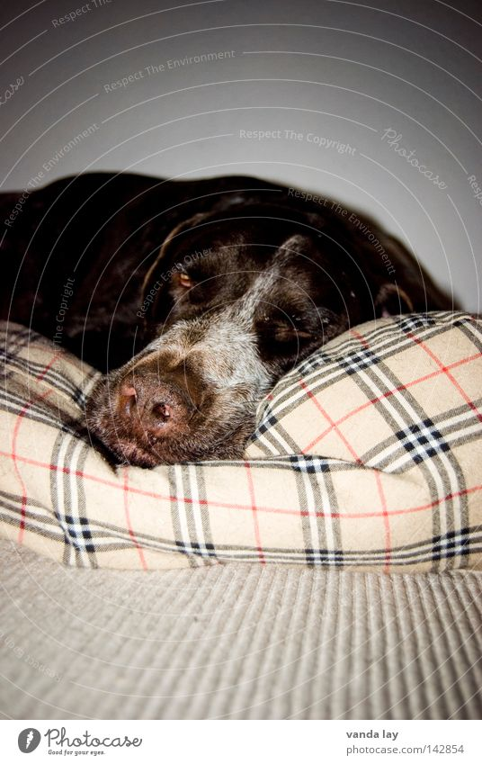 Animal Relaxation Dog Line Brown Sleep Places Peace Fatigue Boredom Mammal Carpet Completed Loyalty Checkered Cushion