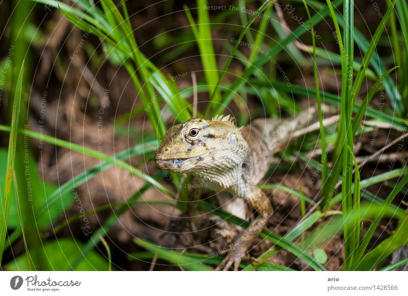 lizard Nature Animal Grass Meadow Virgin forest Wild animal Animal face Scales Saurians 1 Brash Curiosity Thorny Gray Green Colour photo Exterior shot Close-up