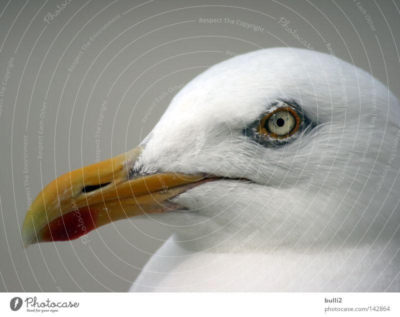 Beach Eyes Bird Seagull North Sea Beak Netherlands Avaricious Animal