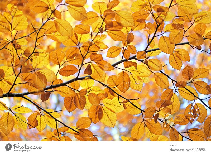 Helgiland II Golden Autumn... Environment Nature Plant Beautiful weather Tree Leaf Branch Rachis Autumn leaves Forest Illuminate To dry up Authentic Natural