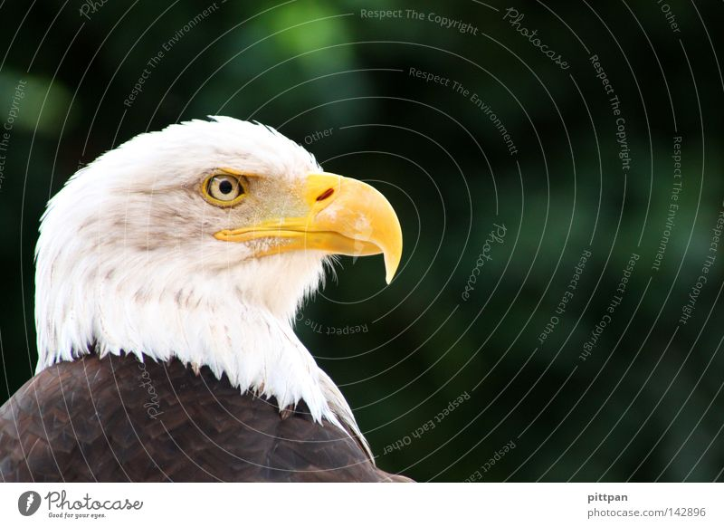 national bird Animal Wild animal Bird Animal face 1 Threat Eagle Bird of prey Heraldic animal Bald eagle USA Colour photo Exterior shot Close-up Detail Deserted