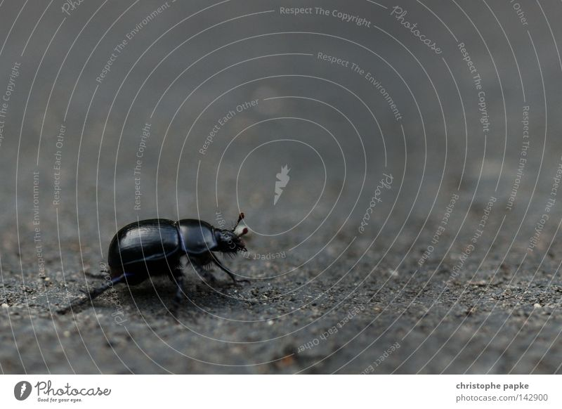 Nature Black Street Lanes & trails Legs Large To go for a walk Insect Beetle Disgust Crawl Feeler Shell Armor-plated Traverse Wayside