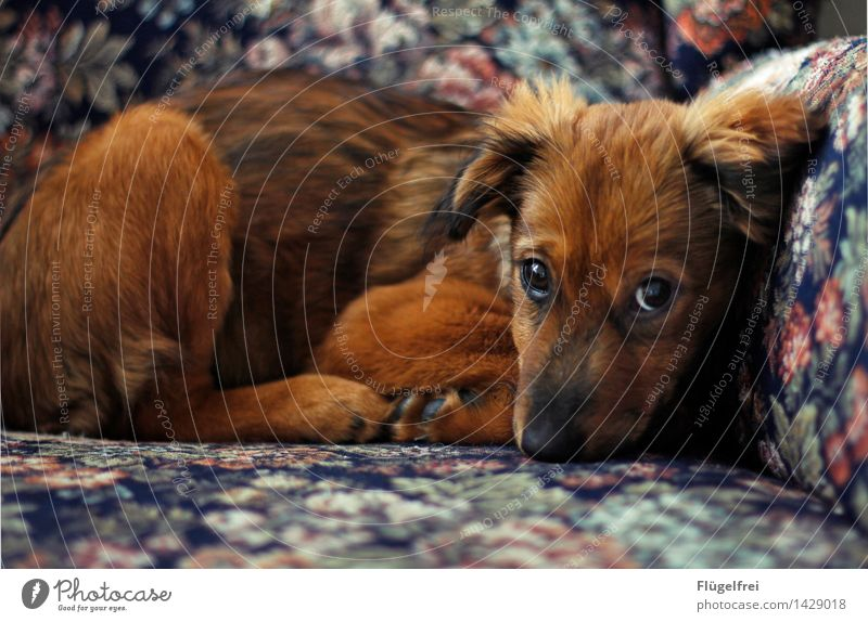 Dachshund look? I can! Animal 1 Lie Dog Pelt Puppy Beautiful Innocent Eyes Looking Observe Staring Armchair Cozy Flowery pattern Small Cute Timidity Bear Brown