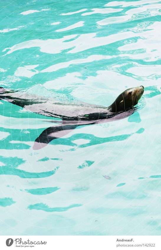 Water Summer Animal Swimming & Bathing Pelt Zoo Turquoise Mammal Refreshment Refrigeration Fin Float in the water Surface of water Seals Sea lion Fur-bearing animal