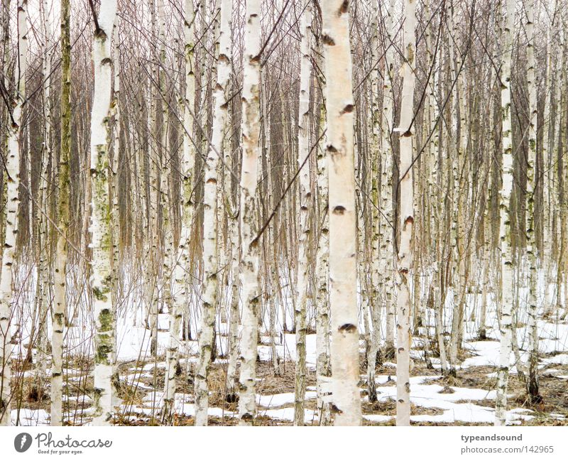 Russian wood Winter Snow Nature Landscape Tree Birch wood Forest Infinity Cold Natural White Purity Dream Peace Mysterious Equal Birch tree February March