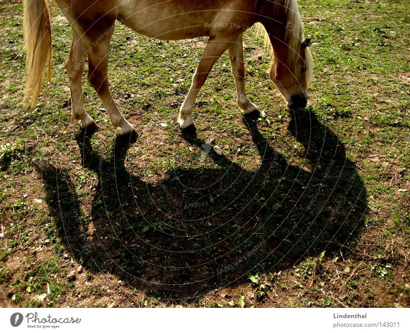 Duet of the horse Horse Animal Green Meadow Blonde Mane Strand of hair Reflection 2 Mammal hoof Shadow double Nose