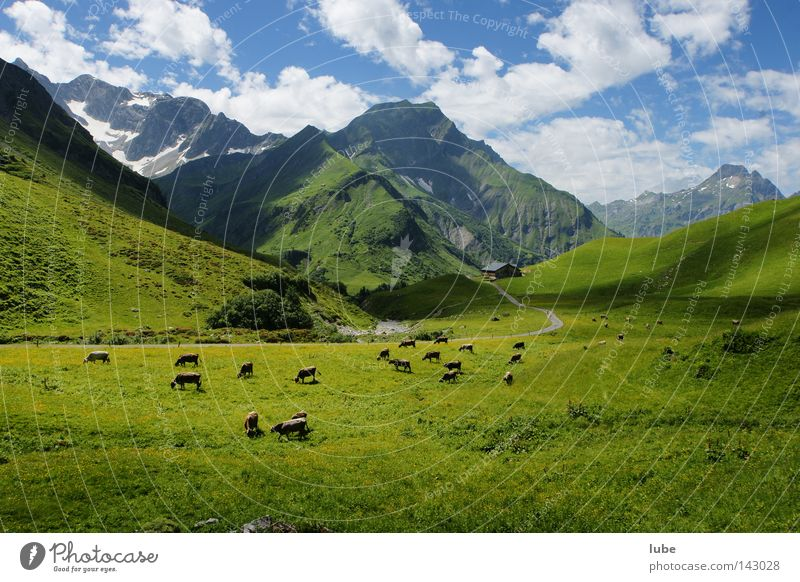 Austria Mountain Grass Cattle Agriculture Cow Alpine pasture Livestock breeding Herd Cattle breeding Cattle Pasture Herdsman High mountain region