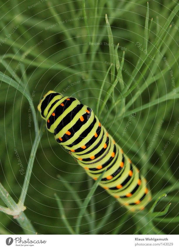 greed Caterpillar Swallowtail Animal Stripe Patch Butterfly Larva Black Green Dill Summer Crawl To feed