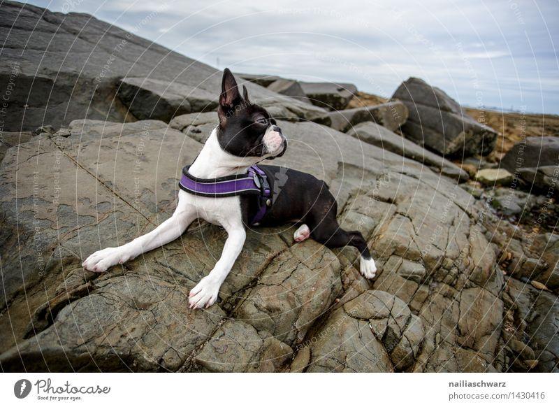 Boston Terrier Beach Ocean Rock Animal Dog Observe Relaxation Looking Playing Romp Elegant Small Curiosity Cute Beautiful Black White Joy Love of animals Energy