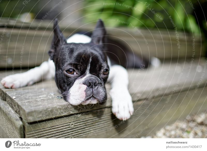 Boston Terrier Trip Summer Animal Dog 1 Observe Relaxation Looking Sleep Simple Happiness Small Curiosity Cute Black White Love of animals Boredom Fatigue