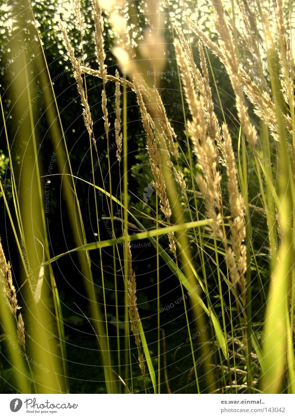 natural whisper. Environment Nature Summer Plant Grass Blossoming Fragrance Fresh Green Blade of grass Colour photo Exterior shot Deserted Copy Space bottom Day