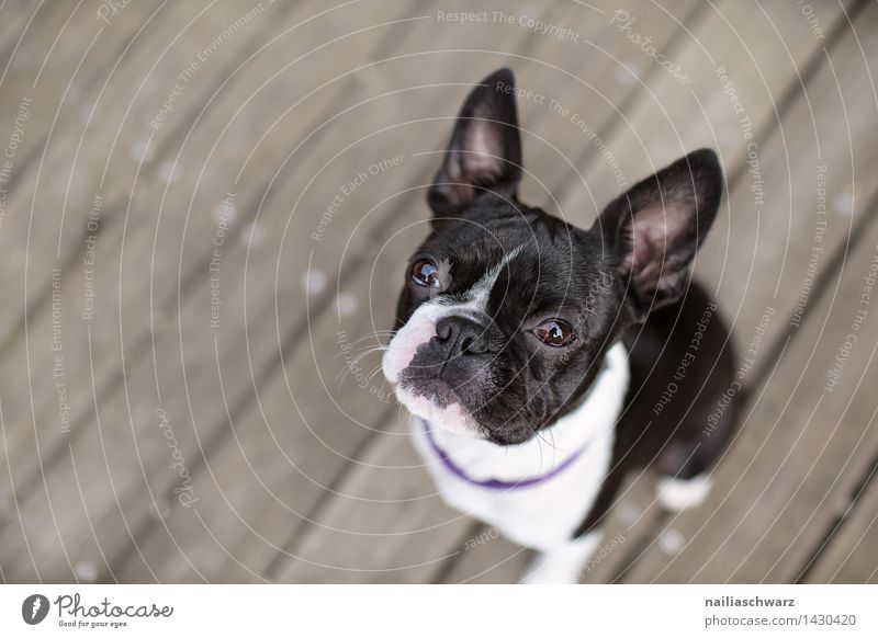 Boston Terrier Trip Summer Dog Observe Looking Sit Wait Brash Happiness Small Curiosity Cute Beautiful Black White Love of animals Loyalty Interest Fatigue