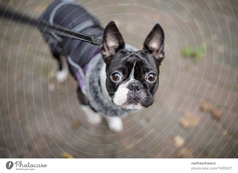 Boston Terrier Trip Winter Autumn Jacket Coat dog coat Animal Dog 1 Dog lead Observe Looking Happiness Cold Small Curiosity Cute Black White Love of animals
