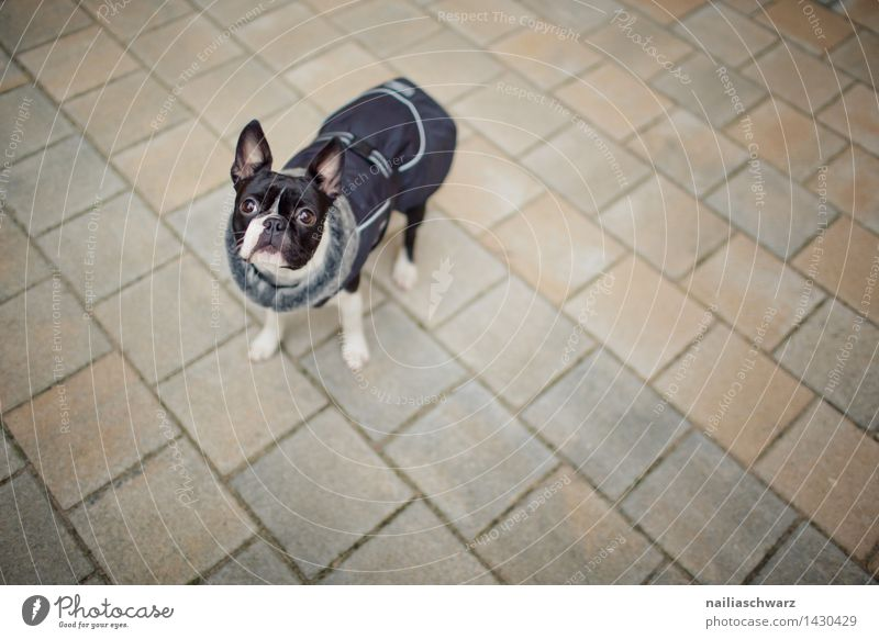 Boston Terrier Trip Winter Autumn Jacket Dog Observe Looking Friendliness Cold Small Natural Curiosity Cute Black White Love of animals Interest Expectation Joy