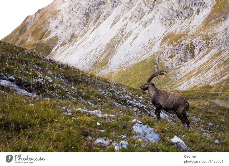 Capricorn I Nature Landscape Meadow Alps Animal Wild animal Alpine ibex common ibex 1 Elegant Goats horn carrier Ruminant Colour photo Multicoloured