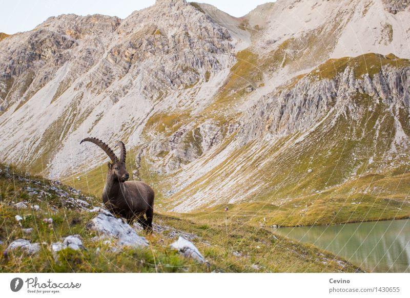 Capricorn II Environment Nature Meadow Alps Animal Wild animal common ibex Alpine ibex 1 Elegant Beautiful horn carrier Ruminant Brash Colour photo