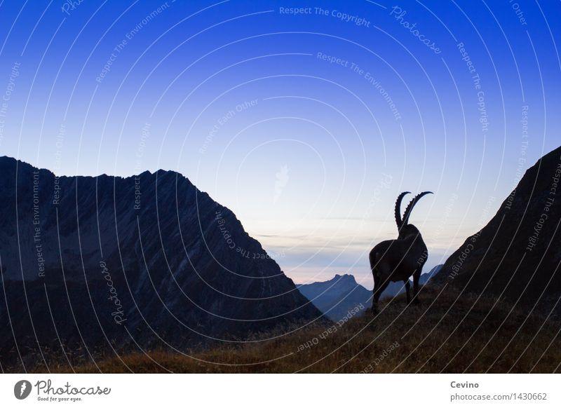 Capricorn III Environment Nature Landscape Sky Horizon Sunrise Sunset Meadow Alps Animal Wild animal common ibex Alpine ibex 1 Elegant Twilight horn carrier