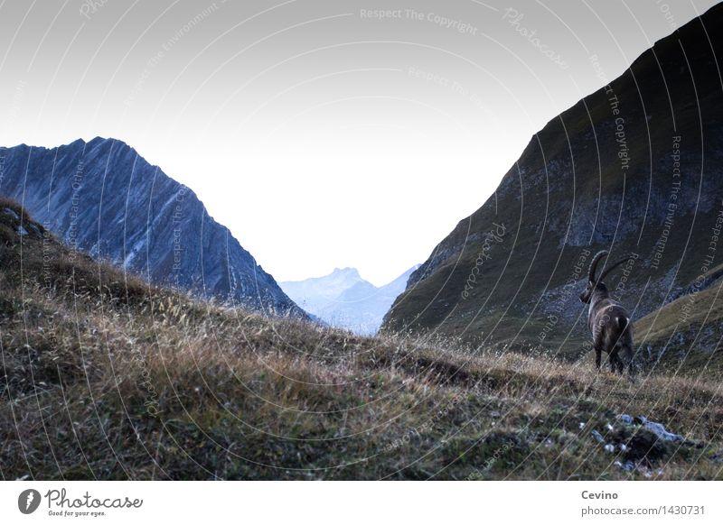 Capricorn IV Environment Nature Landscape Horizon Sunrise Sunset Meadow Alps Animal Wild animal Alpine ibex common ibex 1 Elegant horn carrier Ruminant