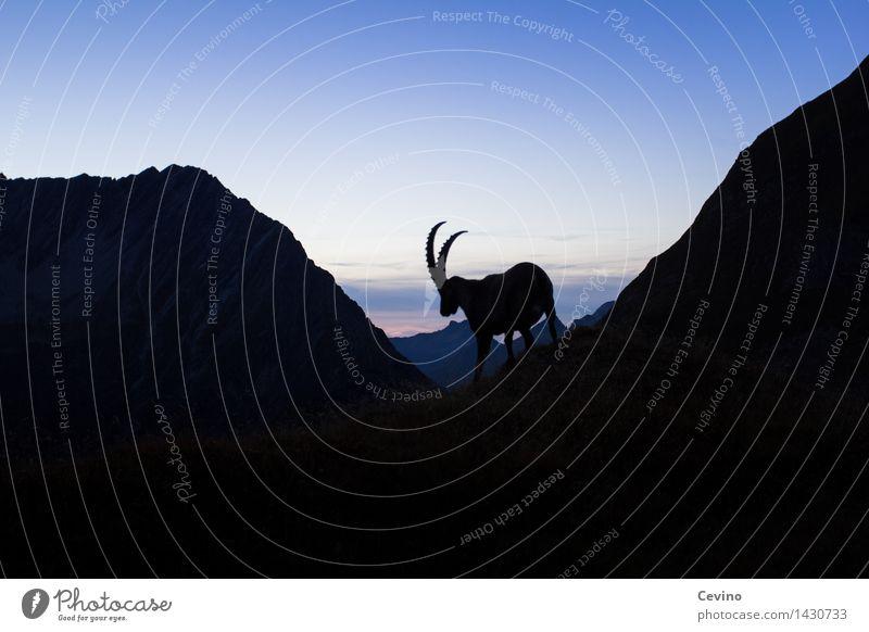 Capricorn V Nature Landscape Horizon Sunrise Sunset Beautiful weather Meadow Alps Animal Wild animal Alpine ibex common ibex 1 Elegant Even-toed ungulate