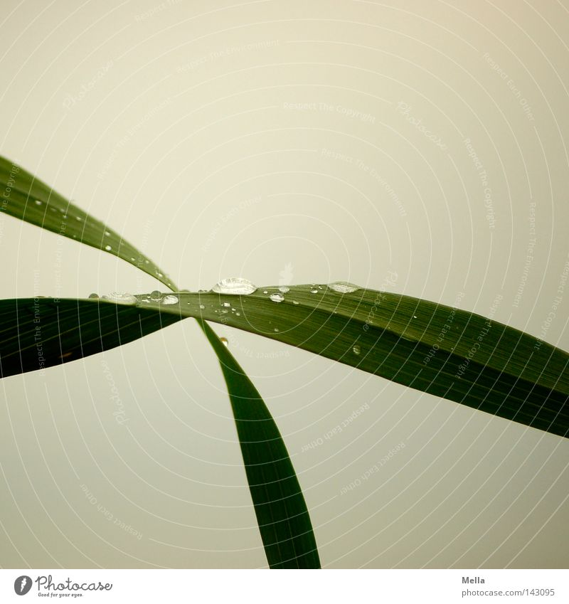 Nature Green Plant Grass Gray Environment Wet Drops of water Fresh Gloomy Drop Peace Natural Dew Blade of grass Dreary