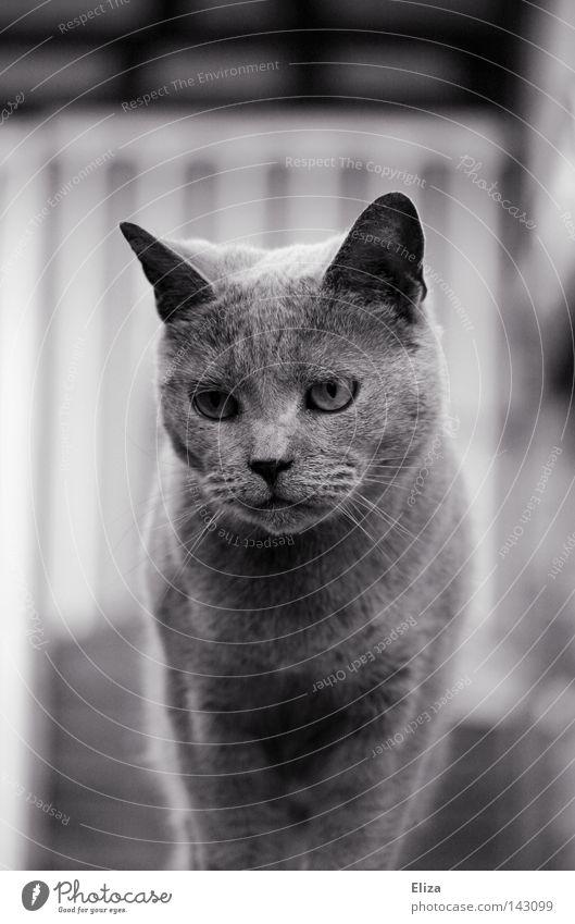 Cat Beautiful Animal Eyes Gray To enjoy Soft Friendliness Well-being Farm Pelt Pet Mammal Paw Cuddly Noble