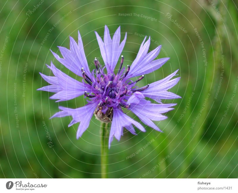 cornflower Plant Blossom Meadow Green Blue Macro (Extreme close-up)