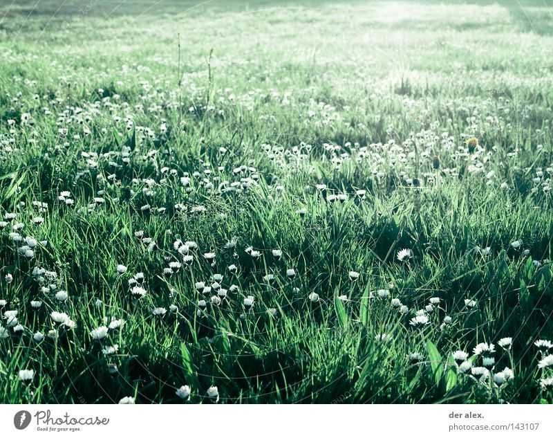 Nature Beautiful Flower Green Plant Summer Meadow Grass Field Environment Daisy