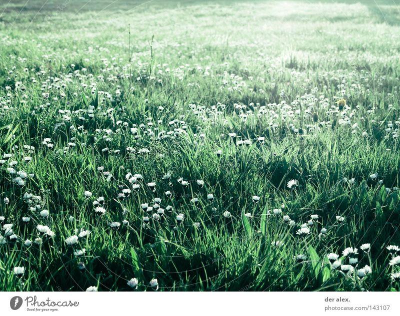 Nature Beautiful Flower Green Plant Summer Meadow Grass Field Environment Daisy