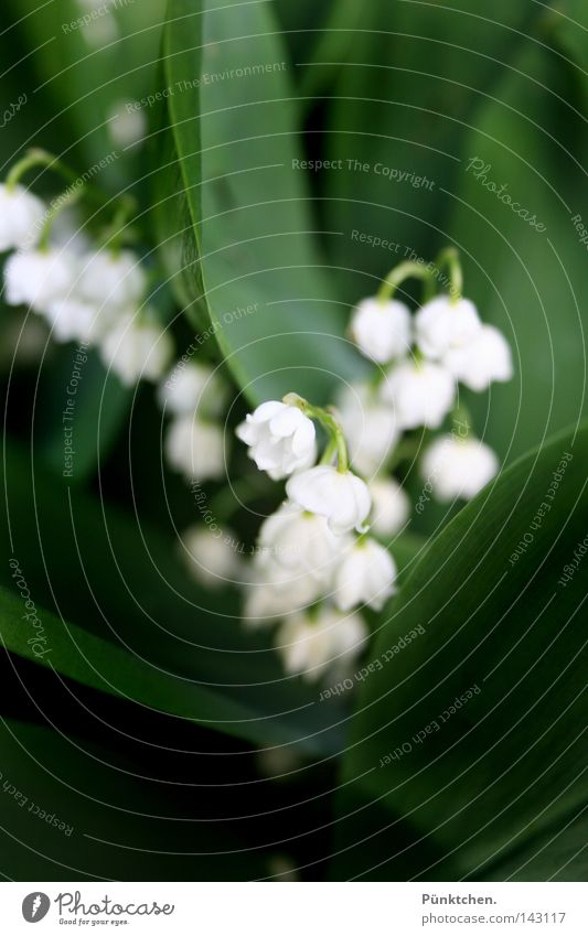 I live my life in shadow... Flower Green Plant White Bell Environment Stalk Lily of the valley May Hang Dangle Dark green Evil Enchanted forest Dreamland Meadow