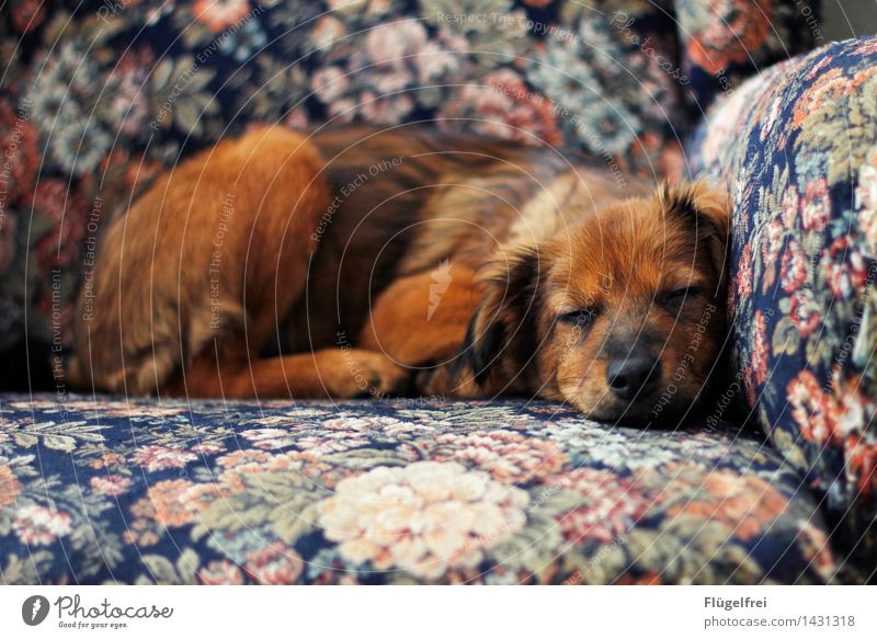 A beautiful dream Animal Pet Dog 1 Sleep Fatigue Armchair Flowery pattern Relaxation Smiling Contentment Calm Puppy Brown Beautiful Lie Warmth Colour photo