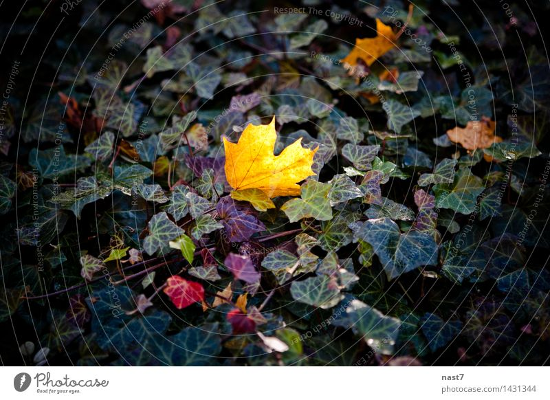 Maple Leaf in the Forest Nature Plant Autumn Tree Park Moody Optimism Life Identity Uniqueness Beautiful exeptional Colour photo Exterior shot Deserted Day