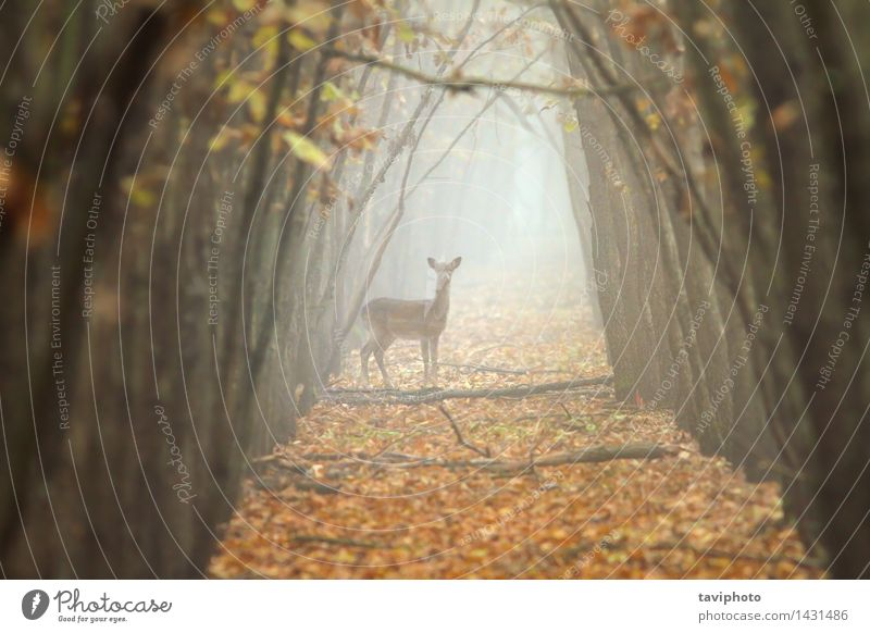 fallow deer hind in beautiful morning light Beautiful Hunting Woman Adults Environment Nature Landscape Animal Autumn Fog Tree Forest Natural Wild Brown Gold