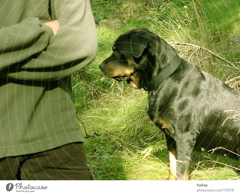 Dog Calm Meadow Wait Audience Loyalty Rottweiler