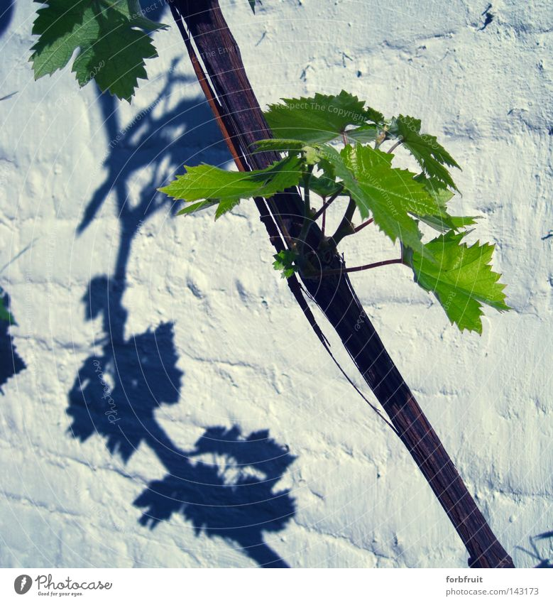 There'll be grapes next year Vine Vine leaf Leaf Wood Plant Wall (barrier) Wall (building) Brick Plastered Green Shadow Contrast Light Culture Wine growing
