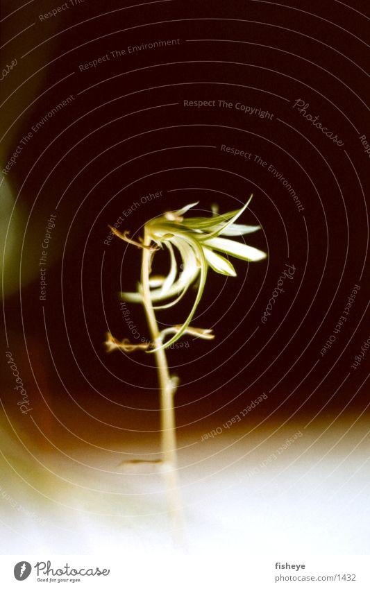 Plant Dark Shoot
