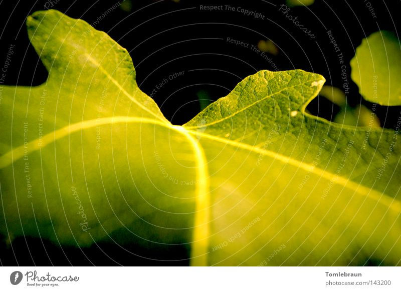 fig leaf Fig tree Fig leaf Leaf Dark Green Black Tree Greeny-yellow Light Vegetable Summer